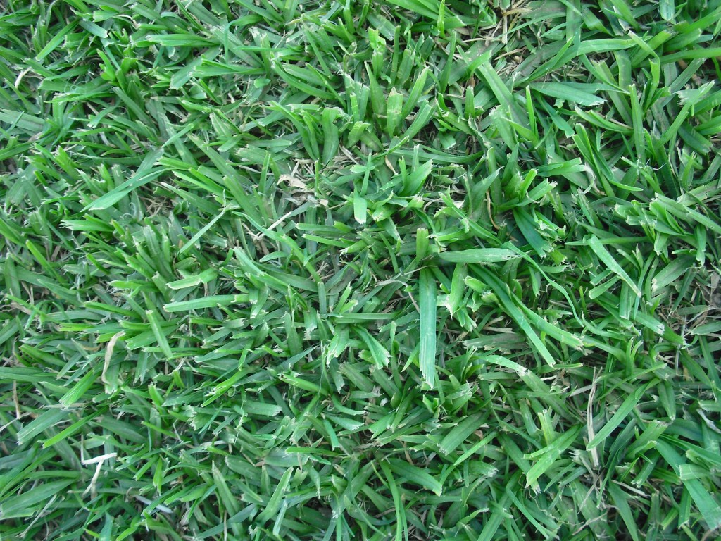 kikuyu grass advantages