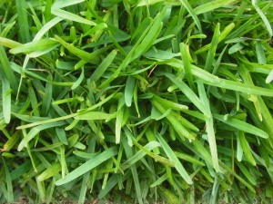 palmetto buffalo grass