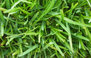 Nara Grass – Why we love Australians home grown turf