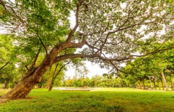 How To Successfully Grow Lawn Around Large Trees