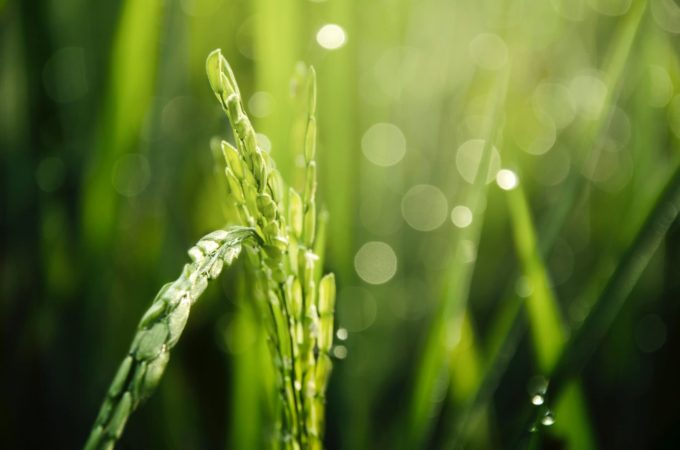 Lawn Solutions 101: What Happens When Grass Goes To Seed?